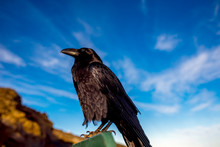 Black Raven Sitting On The Road Sign On The Blue Sky Background