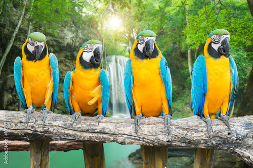Foto op Canvas Papegaai Blue-and-Gold Macaw against tropical waterfall background