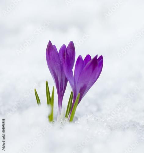 fioletowe-krokusy-przebijajace-sie-przez-tafle-sniegu