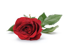 One Dark Red Rose Isolated On ...
