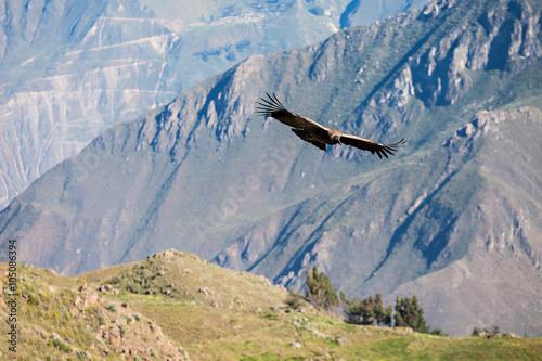 Poster Aigle Condor flight