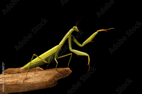 Photo  closeup mantis on the branch on black background