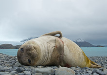 Young Elephant Seal Lying On The Beach, With Rocky Mountains In Background, South Georgia Island, Antarctica