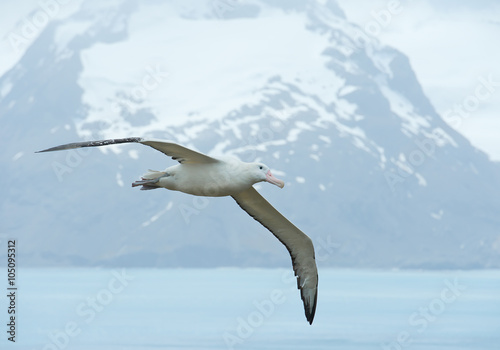 Fotografija  Wandering albatrosse flying above ocean bay,  with snowy mountains and light blu