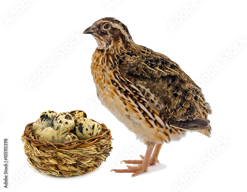 Fotomural Quail and wooden basket with eggs isolated on white background
