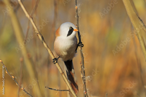 Fotografie, Tablou  Bearded reedling on the splits, look right/birdie on the splits, look left, autu
