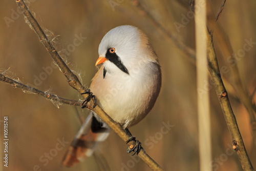 Fotografie, Tablou  bird on a branch on a gold background/bird on a branch on a gold background,Bear