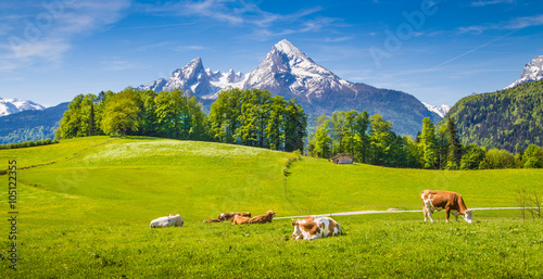 Fotobehang Koe Idyllic landscape in the Alps with cows grazing on green meadows in spring
