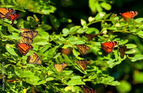 Fotografie, Obraz  Monarch cluster