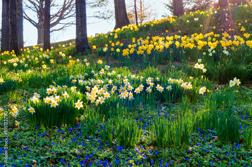 Foto op Canvas Narcis Daffodil morning