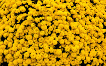 Cluster Of Yellow Mums