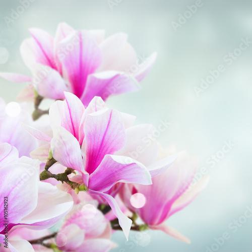 kwitnaca-rozowa-magnolia-kwiaty
