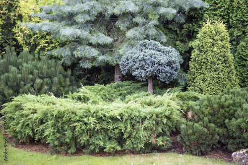 Leinwand Poster Landscaping conifers. Mix