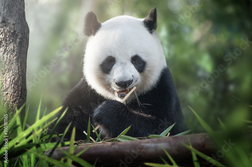 Foto op Canvas Panda panda is eating