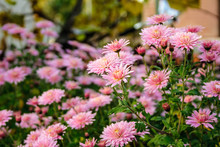 New England Aster Flowers In T...