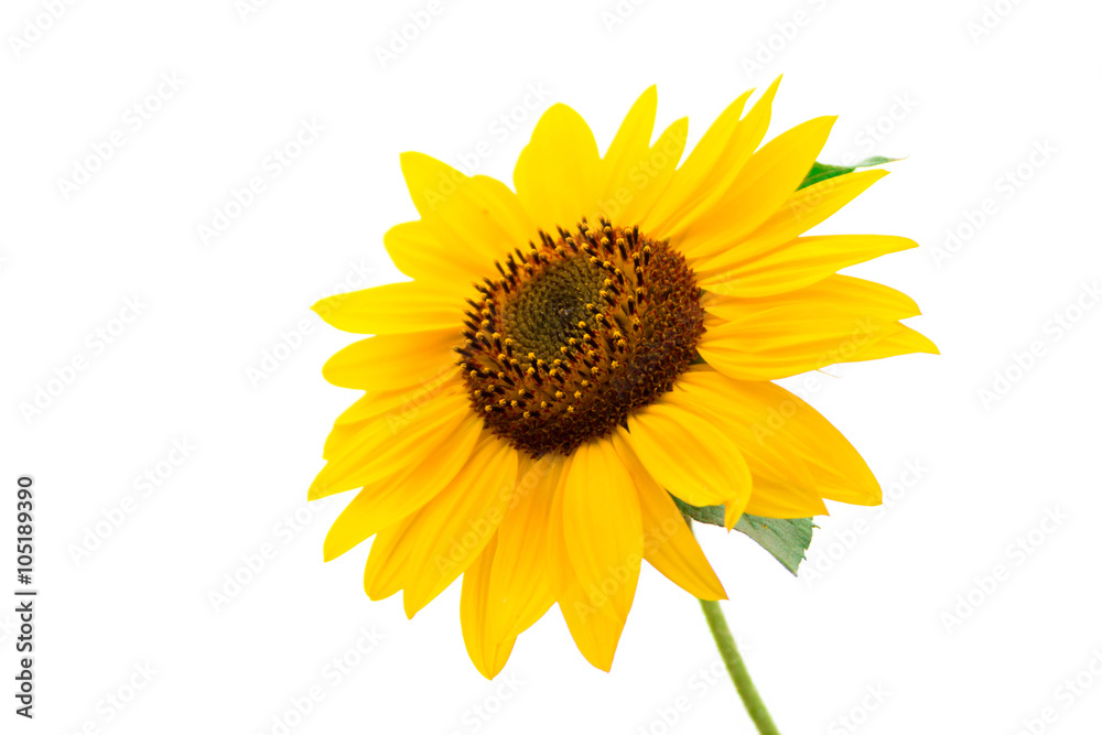 Sunflower isolated closeup #2