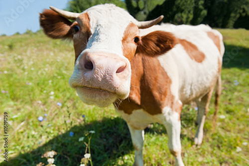 Foto op Plexiglas Koe Curious cow in the meadow (focus on the nose)