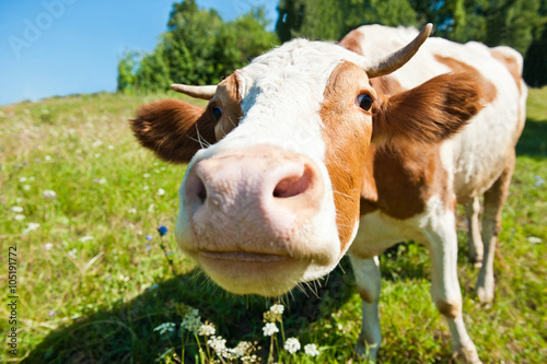 Poster Koe Curious cow in the meadow