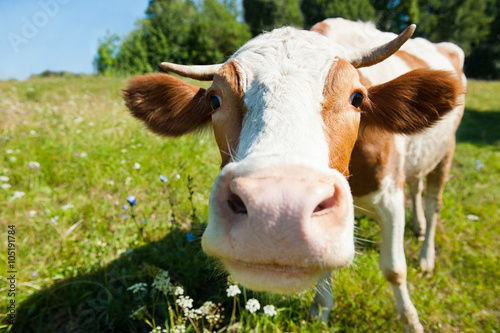 Poster Koe Curious cow on the meadow in summer sunny day