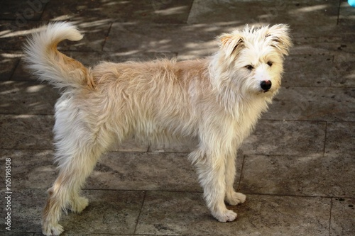 hollandse smoushond dog - buy this stock photo and explore similar