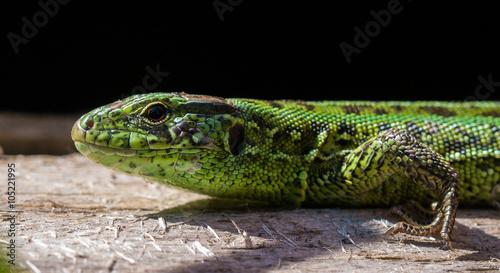 fototapeta na drzwi i meble Lizard