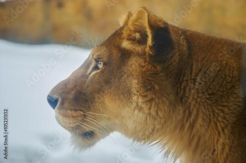 Fototapety, obrazy: ライオンの横顔