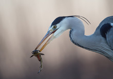 Grey Heron With Cattle Fish In...