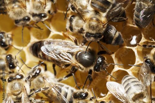 Photo Bienenkönigin und Ammenbienen