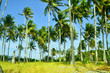 Coconut Forest