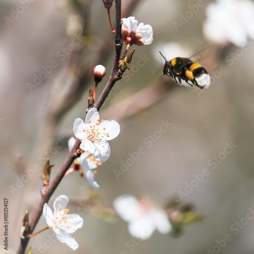 Photo  Bourdon allant butiner une fleur à l'arrivée du printemps