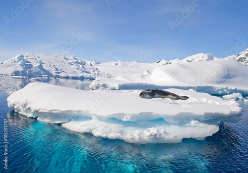 Poster Antarctica Leopard seal resting on ice floe, looking at the photographer, blue sky, with icebergs in background, cloudy day, Antarctic peninsula