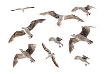 Seagulls Birds Set Isolated On White Background