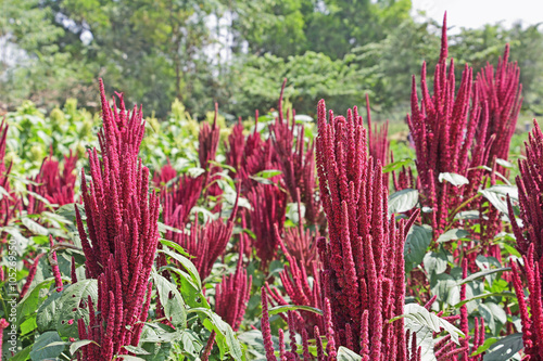 Photo Amaranth is cultivated as leaf vegetables, cereals and ornamental plants