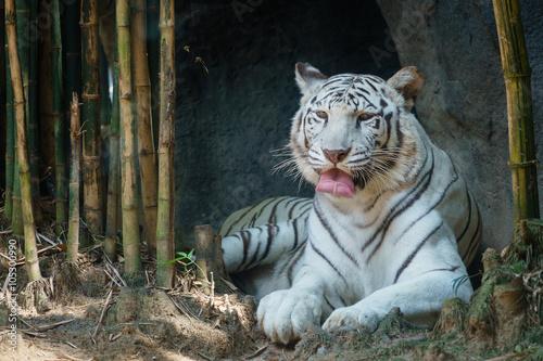 Foto auf AluDibond Tiger White Tiger