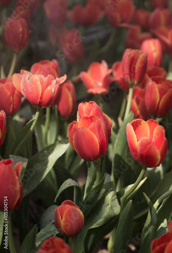 pomaranczowe-tulipany