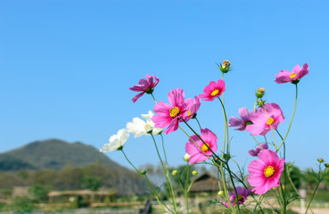Cosmos flowers on blue sky background at the afternoon in the garden [Blur and Select focus background]