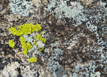 Texture Of Lichen On The Stone