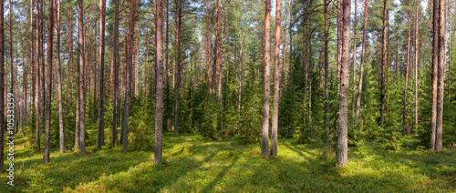 Fotobehang Bossen Summer fir forest panorama