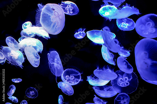 Photo  Beautiful Moon Jellyfish (Aurelia aurita) Suspended in Water and
