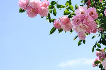 Panel Szklany Róże ピンクのバラ クローズアップ