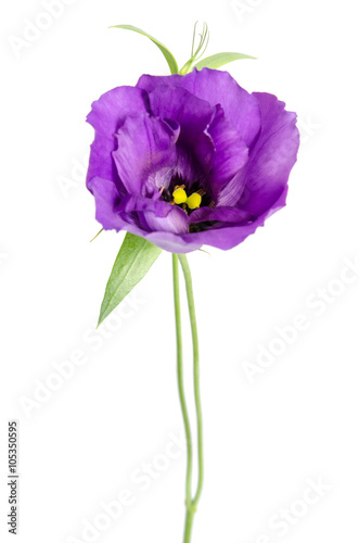 Spoed Foto op Canvas Iris Beauty violet flower isolated on white. Eustoma