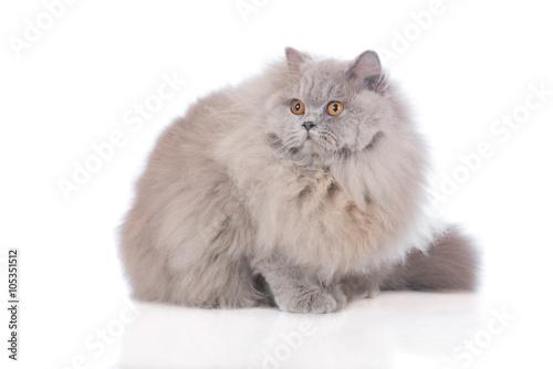 Fotografie, Obraz  british longhair cat sitting on white