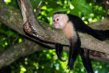 White Faced Capuchin Monkey Ch...