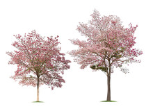 Collection Of Isolated Tabebuia Rosea Trees On White Background