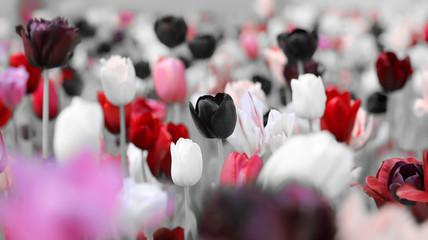 Panel Szklany Tulipany tinted tulips trauer