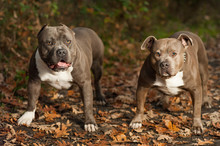 Dogs - American Bully - In The Countryside