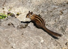 Chipmunk On The Rock