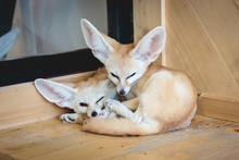 Fennec Fox Sleeping On A Wood