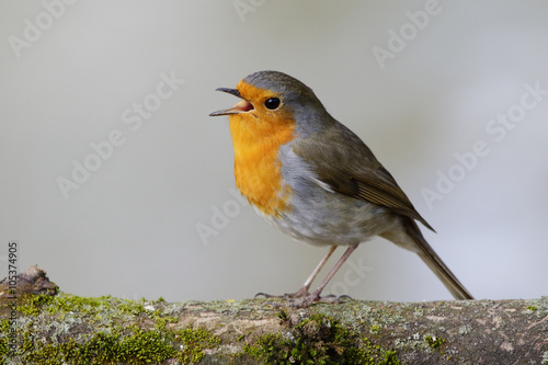 Photo  European Robin (Erithacus rubecula) singing on its perch