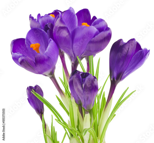 Papiers peints Crocus Crocus flower in the spring isolated on white